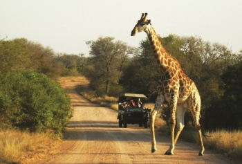 Cl Ic Kruger Park Safari